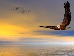 American bald eagle, flying free.