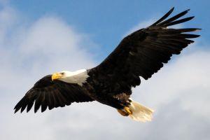 bigstock-Bald-Eagle-Soaring-10619714